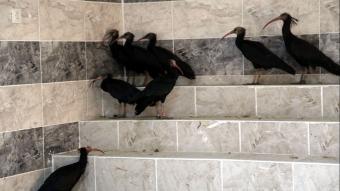 Şanlıurfa'da doğaya salınan kelaynaklar kafese alınmaya başladı