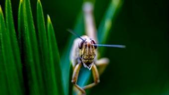 Hayvanlar dünyasının akrobat böcekleri çekirgeler