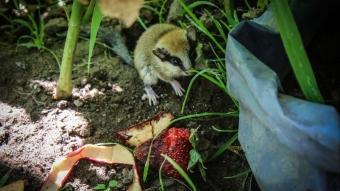 Kütahya'da kedilerin elinden kurtarılan ağaç yediuyuru doğal ortamına bırakıldı