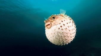 Türk sularında balon balığı tehlikesi