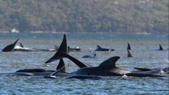 Sığ sularda mahsur kalan balinalardan en az 90'ı öldü