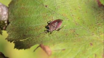 Kahverengi kokarca böceğine pet damacanalı önlem