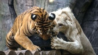 Aslan ''Pamuk'' ile Bengal kaplanı ''Toby''nin şaşırtan dostluğu