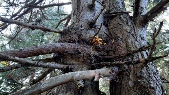Aynı kökte büyüyen çam ile köknar ağaçları görenleri hayrete düşürüyor