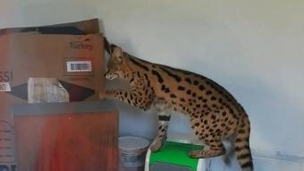 Sakarya'da Afrika yaban kedisi ele geçirildi