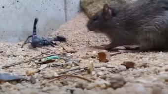 Akrep ve fare karşı karşıya gelirse... İlk kez görüntülendi!