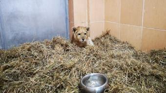 İzmir'de aslan yavrusu bulundu
