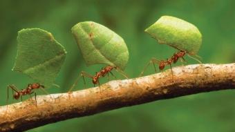 Karıncaların şaşırtan gücü