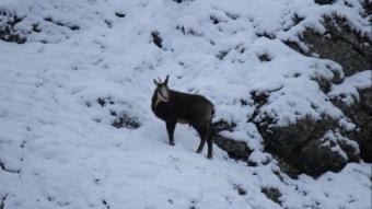 Şamua olarak bilinen çengel boynuzlu dağ keçileri, sürü halinde görüntülendi