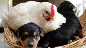 Her canlıyı sahiplenen annelik iç güdüsü yüksek tavuklar