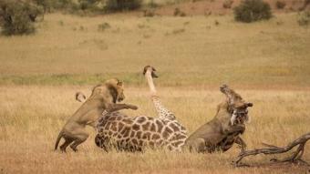 Aslanların devasa zürafayı avlama anını kare kare fotoğrafladı