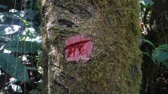 Kesilen ağaçtan bir anda kan akmaya başladı!