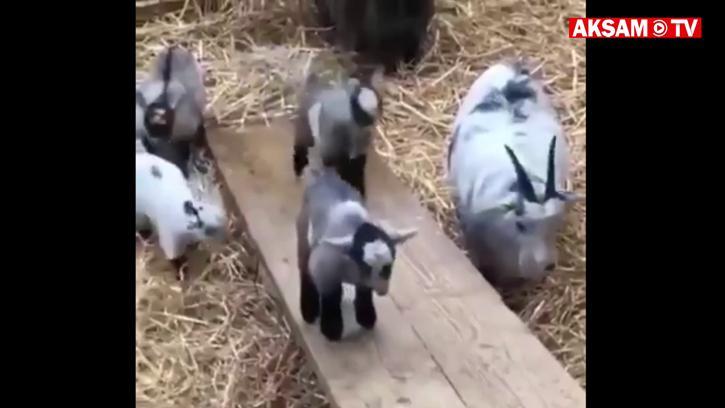 Keçilerin Moonwalk'u :)