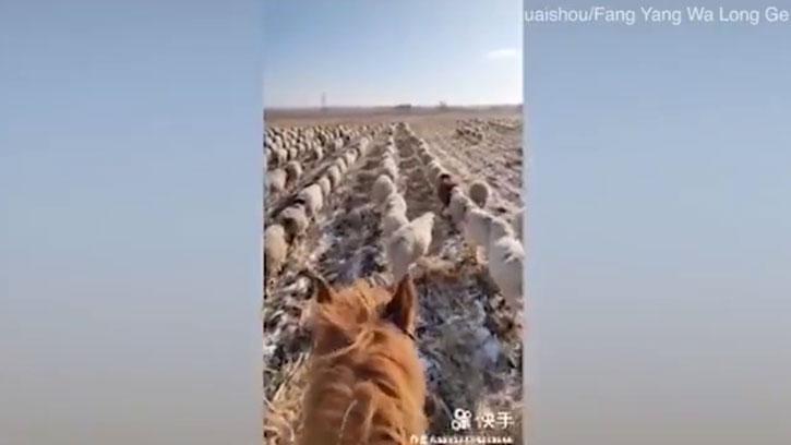 400'den Fazla Koyununu Askeri Düzende Yürüttü!