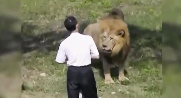 İki aç aslanın arasında kaldı