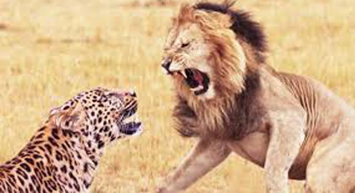 Aslan ve leoparın ölüm düellosu