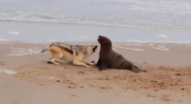 Kurt ve deniz aslanının inanılmaz kapışması