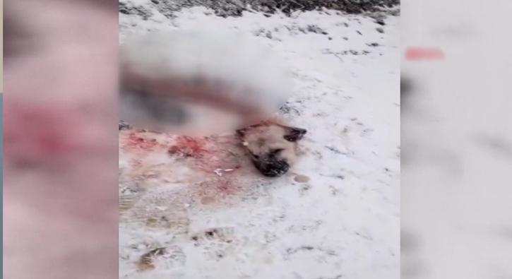 Aç kurtların yediği kangaldan geriye sadece başı ve iskeleti  kaldı