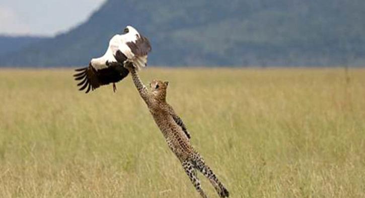 Aç leoparın saldırısı nefes kesti
