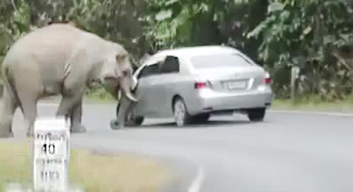 Arabanın üstüne oturan fil dehşet saçtı