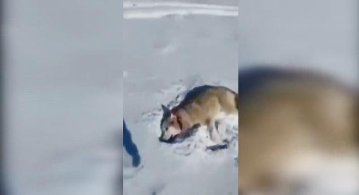Ölü taklidi yapan kurt dehşet saçtı