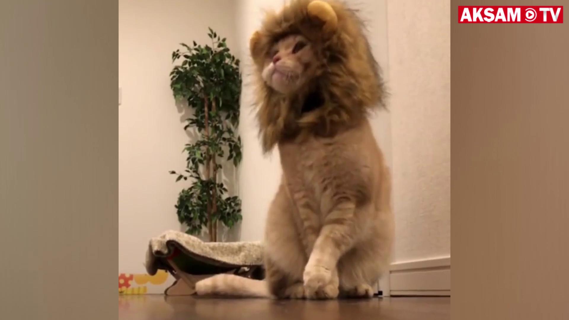 Küçük aslan 'miyav' dedi