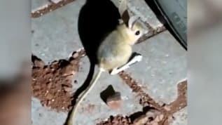 Dünyanın en ilginç hayvanlarından olan 'Kanguru faresi' Adıyaman'da görüldü