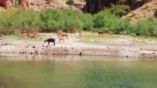 Nesli tükenme tehlikesi altında olan boynuzlu baykuş ve dağ keçileri görüntülendi