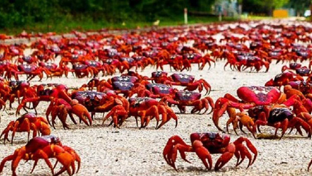<p>Avustralya'daki Christmas Adası, her yıl ekim ve kasım ayında gerçekleşen yengen göçü neden