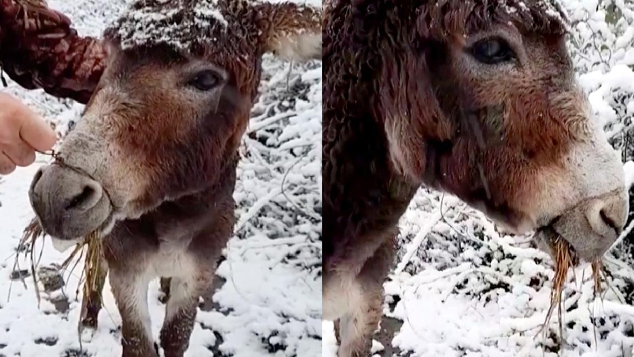 <p>Samsun'da arazide ağzı tel ile bağlı başıboş eşek kurtarıldı. Eşeğin ağzındaki teli kırarak çıkar