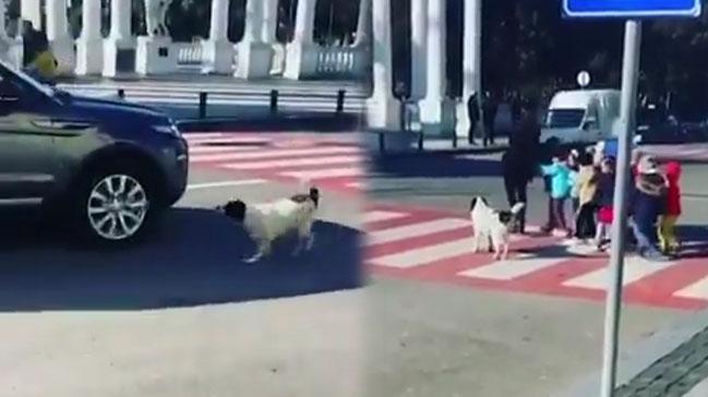 Köpek, Çocukların Karşıya Geçmesi İçin Araçları Böyle Durdurdu