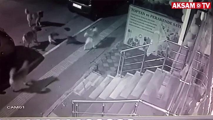 1 kediye karşı 6 köpek... Böyle kaçırttı