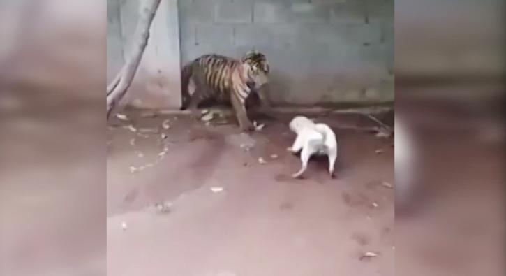 Kaplan ve pitbull'un inanılmaz kapışması
