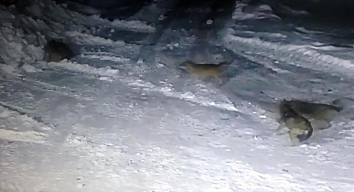 Köye inen aç kurtlar dehşet saçtı