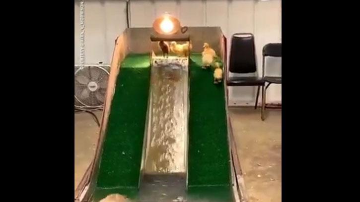 Ördeklerin Havuzda Kaydırak Keyfi