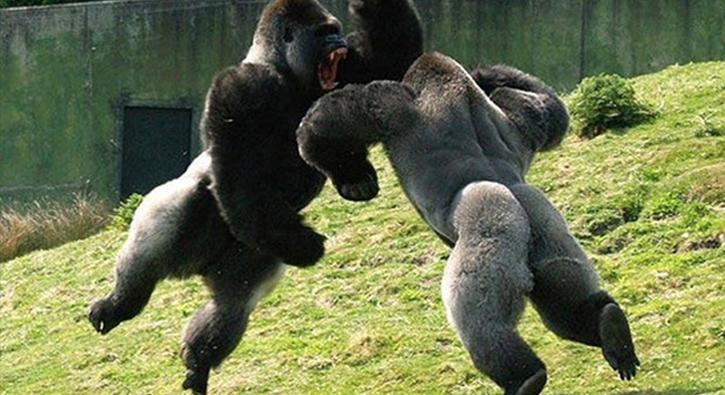 Gorillerin yumruklu kavgası kamerada