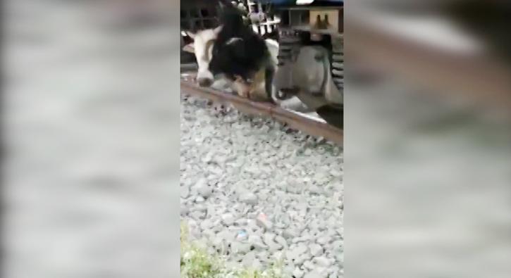 Trenin altında kalan boğanın kurtuluşu