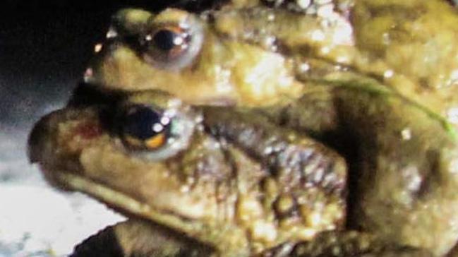 Bilim adamları yeni bir kurbağa türü keşfetti
