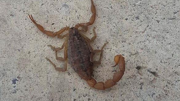 İslahiye'de, en zehirli akrep türü görüldü