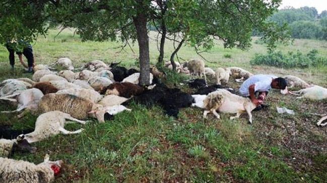 Düşen yıldırım sonucu 55 koyun telef oldu