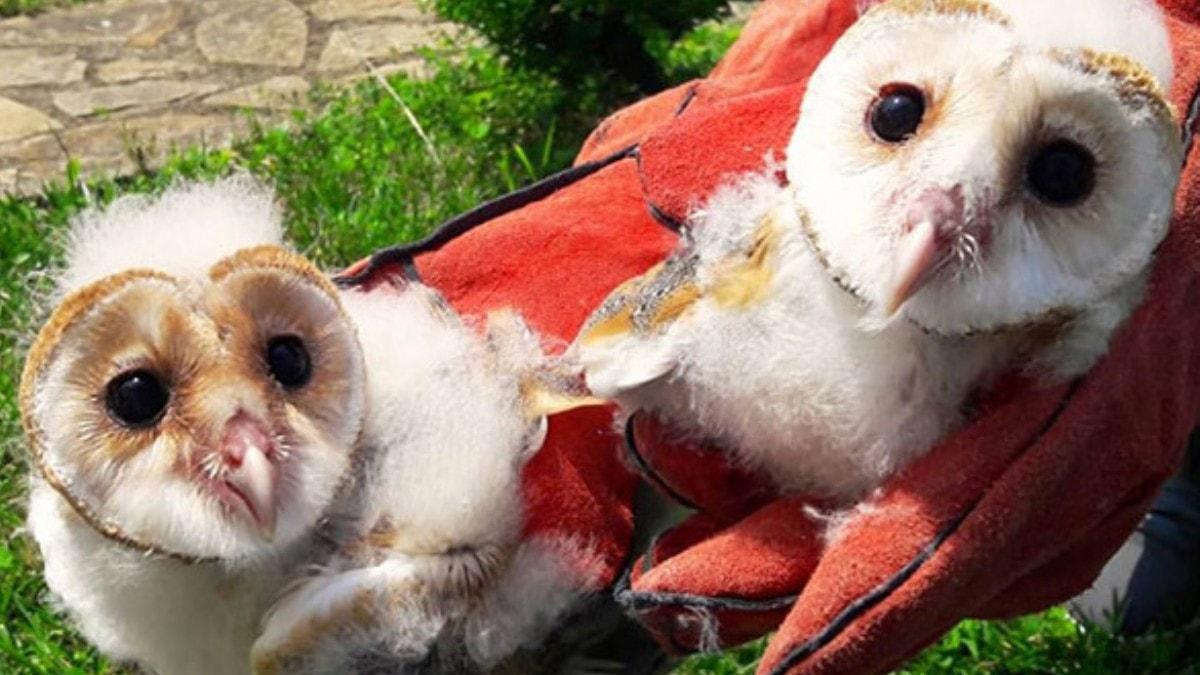 Dört peçeli baykuş yavrusu koruma altına alındı