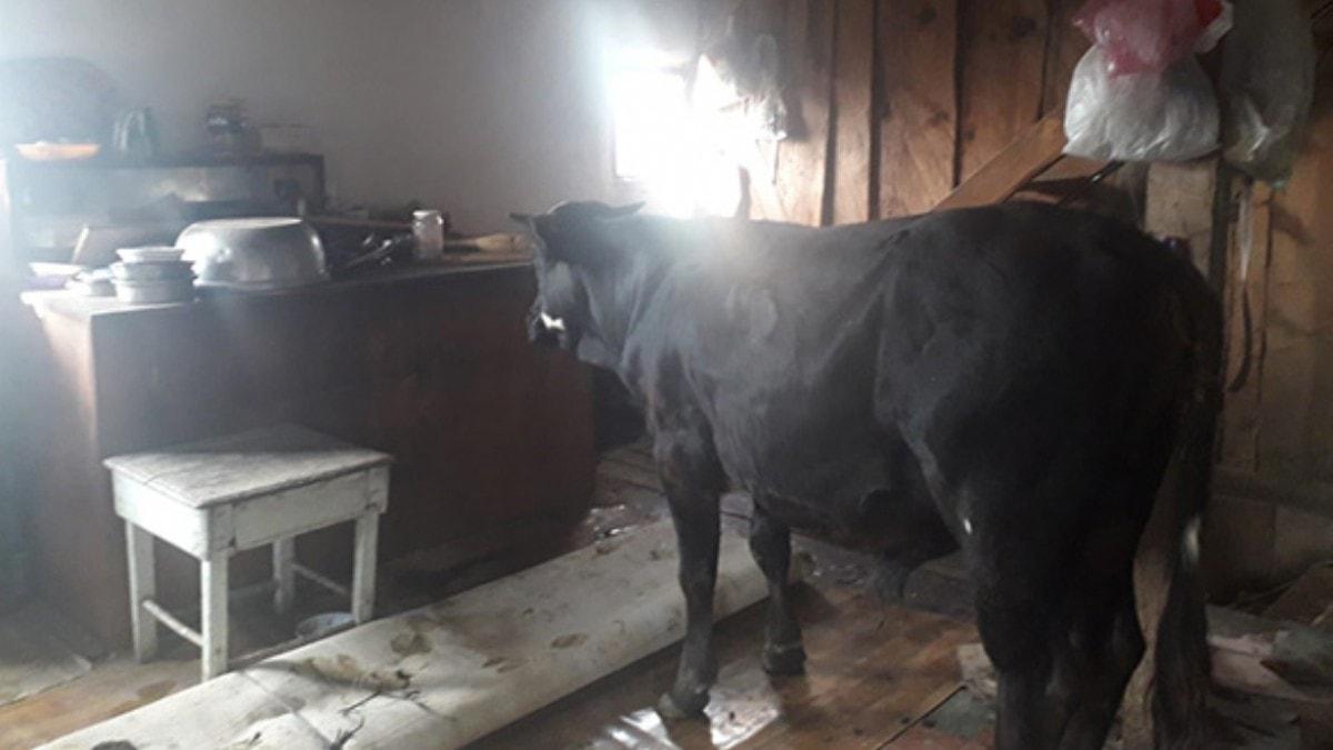 Bolu'da 'aşıdan kaçan' dana eve girdi