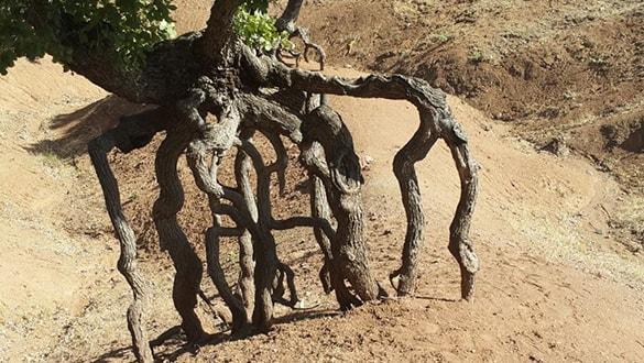 Görenler film seti sanıyor! 'Yürüyen ağaçlar'