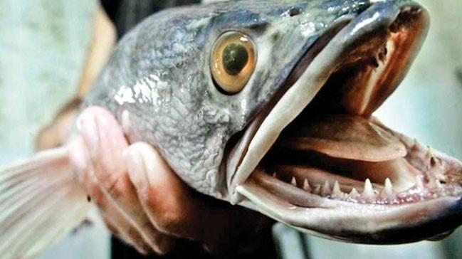 ABD'de karada yaşayan yılanbaş balığı alarmı