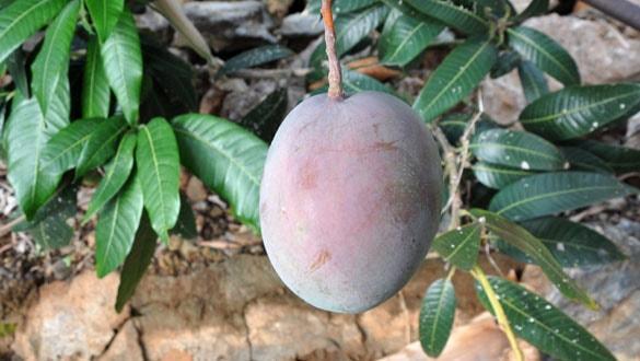 12 mango ağacı 45 bin lira kazandırdı: Bu mango altın yumurtlayan bir meyve