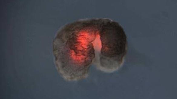 Kök hücrelerle üretildi! Dünyanın ilk 'canlı makinesi'