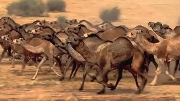 Dünyayı ayağa kaldıran olay: Avustralya'da 5 bin deve öldürüldü!