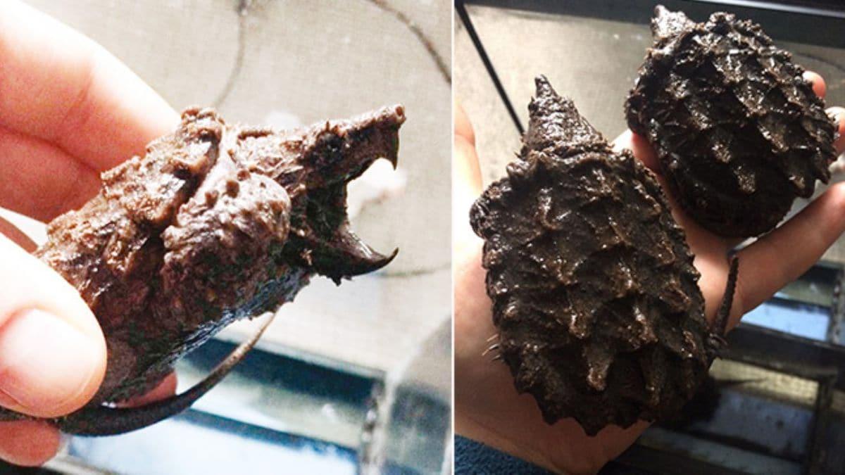Sahibinden satılık'minik canavarlar' Timsah yiyen kaplumbağalar artık koruma altında!