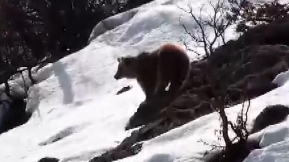 Tunceli'de boz ayı kış uykusundan uyandı