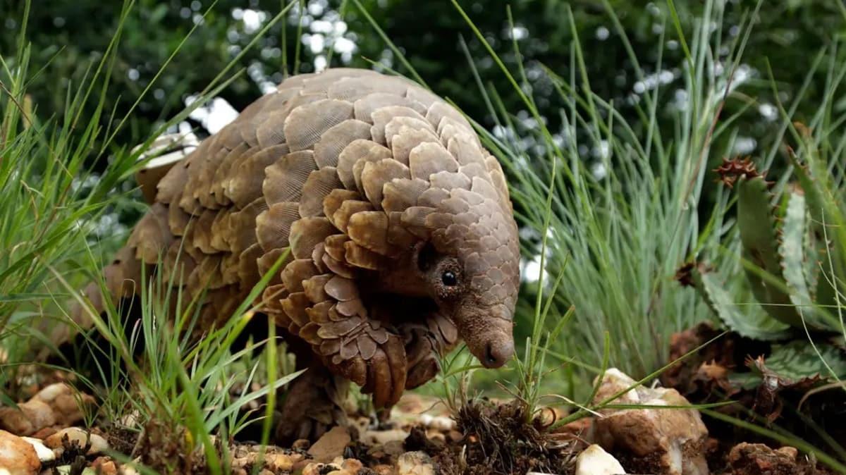 Koronavirüsün benzeri Pangolin hayvanında keşfedildi